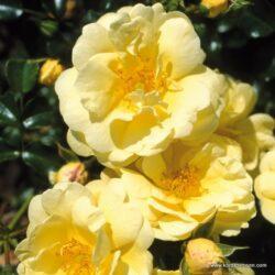 rose_gelb_bodendecker_sunny-rose_kordes_03