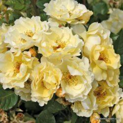 rose_gelb_strauchrose_goldspatz_kordes_2_1