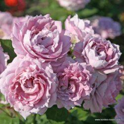 rose_lila_beetrose_novalis_kordes_04_1