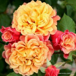 rose_orange_kletterrose_aloha_kordes_01_1