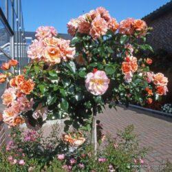 rose_orange_stammrose_aprikola_kordes_02