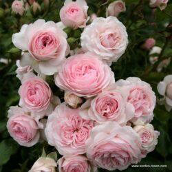 rose_rosa_beetrose_larissa_kordes_02_1