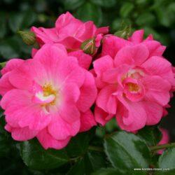 rose_rosa_bodendecker_palmengarten-frankfurt_kordes_02_1