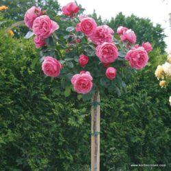rose_rosa_hochstamm_leonardo-da-vinci_kordes_01_1