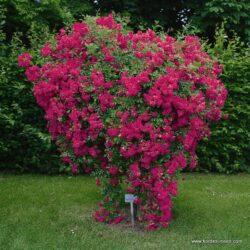 rose_rosa_kletterrose_super-excelsa_kordes_01_1_1