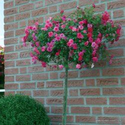 rose_rosa_stammrose_knirps_kordes_01_4