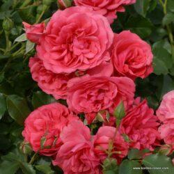 rose_rosa_strauchrose_rosarium-uetersen_kordes_02_2