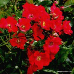 rose_rot_bodendecker_sommerabend_kordes_01_1