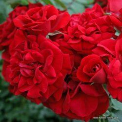 rose_rot_kletterrose_amadeus_kordes_03