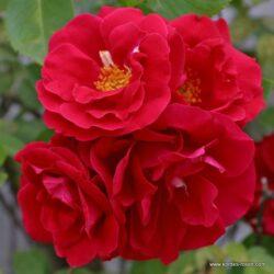rose_rot_kletterrose_flammentanz_kordes_1