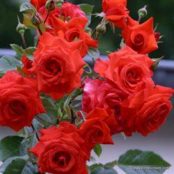 rose_rot_kletterrose_salita_kordes_3