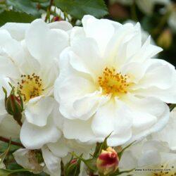 rose_weiss_beetrose_diamant_kordes_0