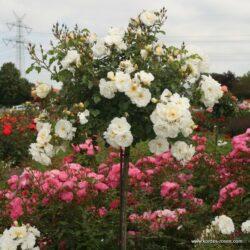 rose_weiss_stammrose_diamant_kordes_02