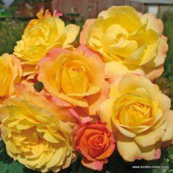 rose_bunt_beetrose_rose-der-hoffnung_kordes_53