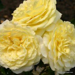 rose_gelb_beetrose_solero_kordes_02_1