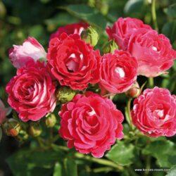 rose_rot_beetrose_schoene_koblenzerin_kordes_02_1