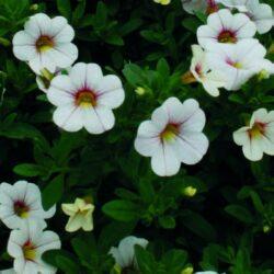 Calibrachoa Noa Cherry Blossum