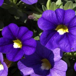 Petunia-CaliPetite-BlueWEB