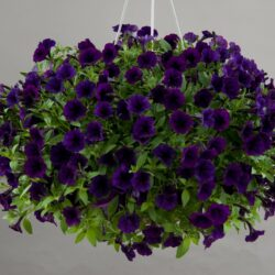 _vyrn_123petunia-littletunia-purple-blue-3