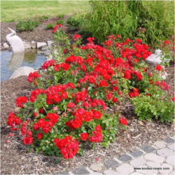 Black Forest Rose (Блэк Форест Роуз)