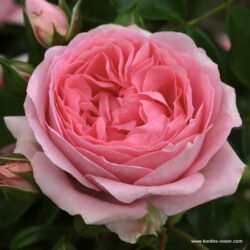Rosenfee (Розенфи)