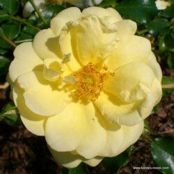 Sunny-rose (Сани Роуз)