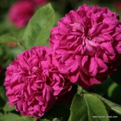 Rose-de-Resht (Роза ди Рейшт)