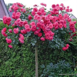 Rosarium-Uetersen (Розариум Уетерсен)