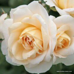 Lions-Rose (Лионс-Роз)