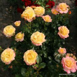 Rose der Hoffnung (Розе де Хофнунг)