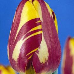 Тюльпан Helmar