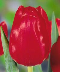 Тюльпан Red Power