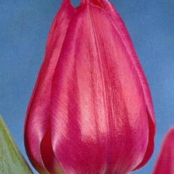 Тюльпан Sweet Rosy