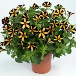 Петуния  Petunia Little Bicolor Black