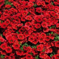 Калибрахоа Calibrachoa Calipetite Red