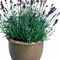 Лаванда Lavandula ang Lavance Purple