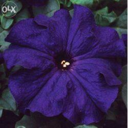 Петуния Petunia Prelude Blue