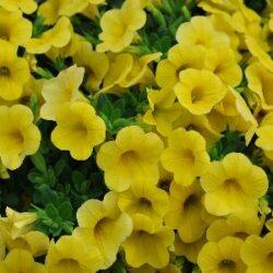 Калибрахоа  Calibrachoa Calipetite Yellow