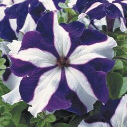 Петуния Petunia Designer Blue Star