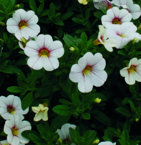 Калибрахоа Calibrachoa Noa Cherry Blossum.