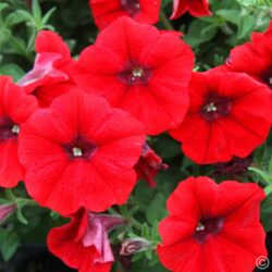 Петуния Petunia Cascadias Deep Red